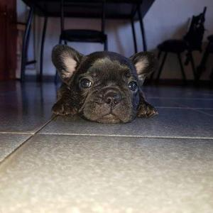 bulldog frances excelente pedigree, tarjetas