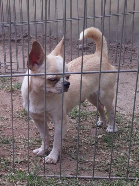 Chihuahua macho cachorros