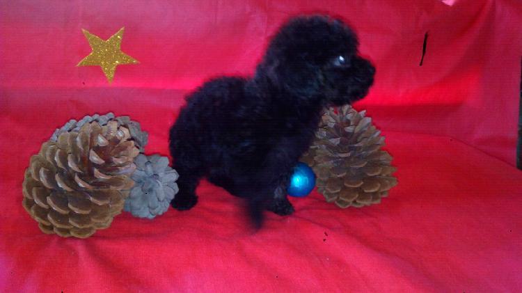 Vendo cachorra caniche micro toy