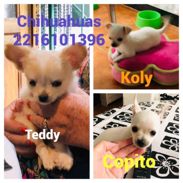 Chihuahua pelo largo y pelo corto