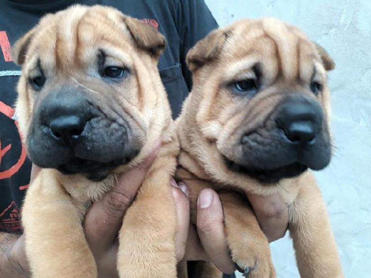 Ultimos cachorros shar pei con papeles de fca