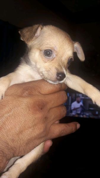 Chihuahua macho 45 dias