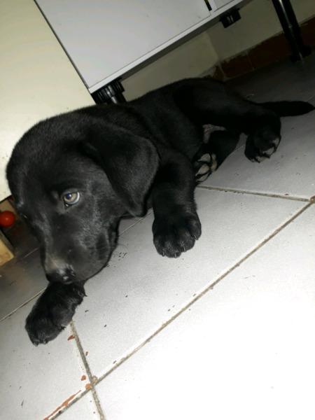 Cachorros labradores negros!!!