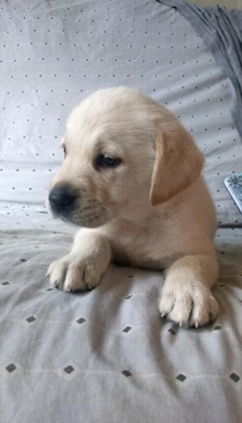 Cachorro de labrador. arena