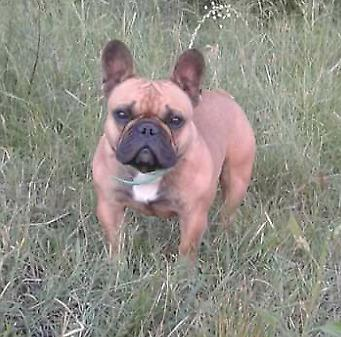 CACHORROS BULL DOG FRANCES