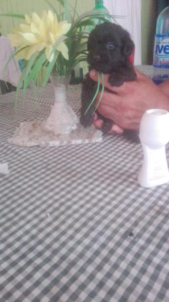 Caniche micro toy