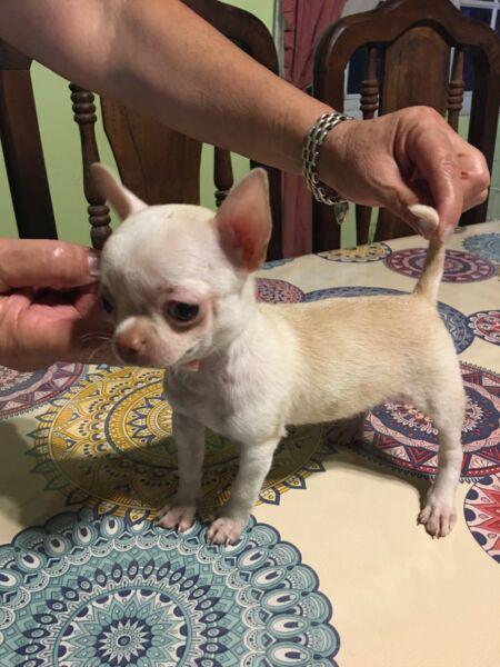 Chihuahua mini mini hembra ojo claros