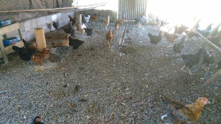 Gallinas y pollos de campo