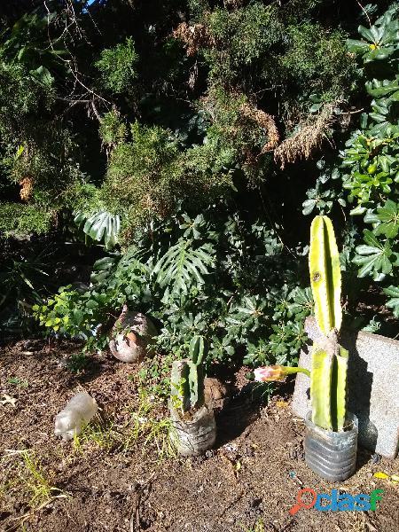 Cactus varios de 40cm=$400  60cm=$600 70 cm=$700