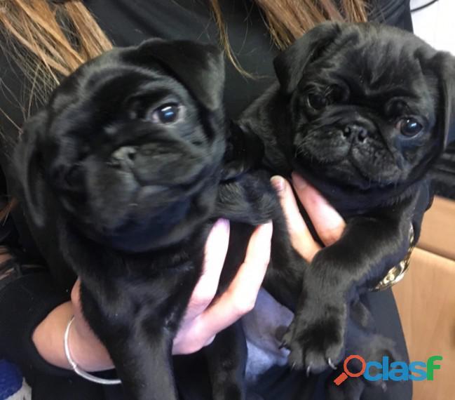 ¡cachorros pug sanos y de pura raza en busca de nuevas viviendas!