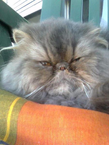 Servicio de gato persa