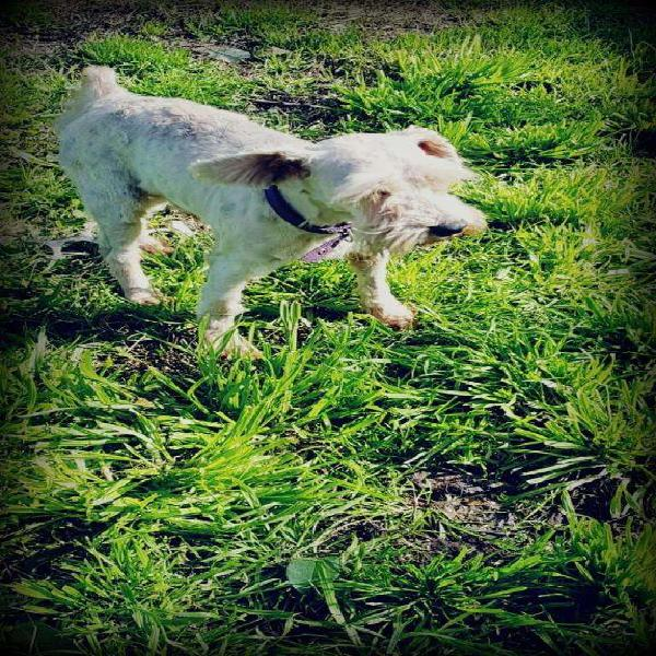 Hermoso schnauzer mini blanco mascota para familia chicos o