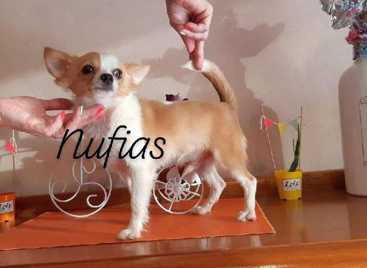 Chihuahua machito 7 meses la plata
