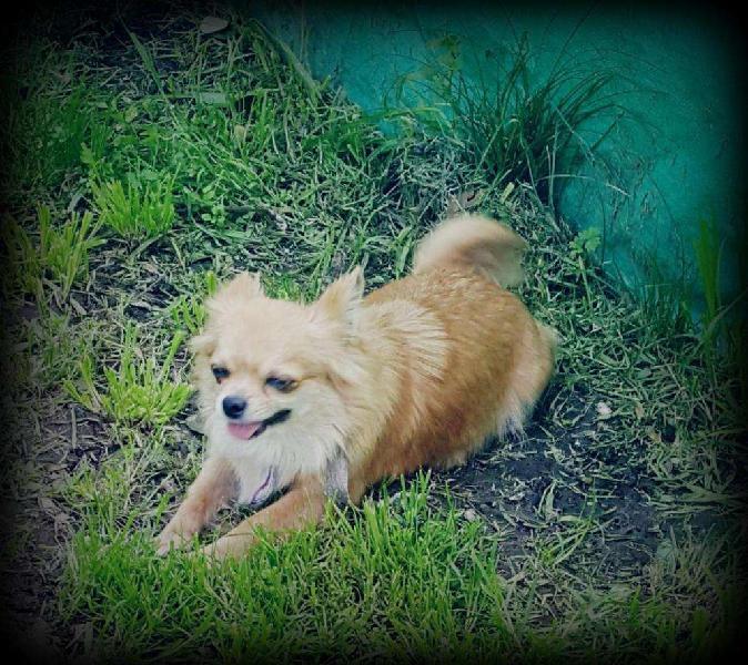 Hermosa chihuahua mini pelo largo mascota para familia