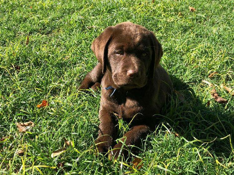 Labrador cachorros chocolate pedigree