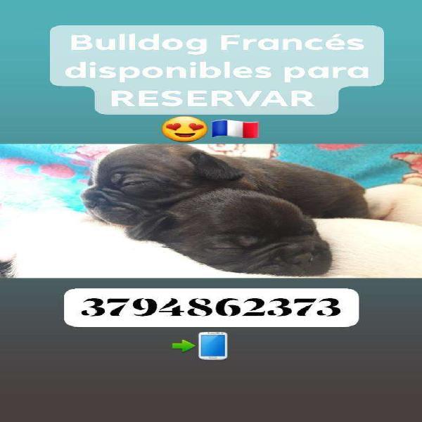 Bulldog Francés con Pedigree