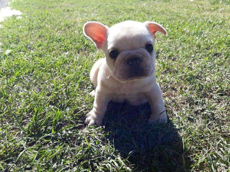Excelente cachorro bulldog frances con pedigree