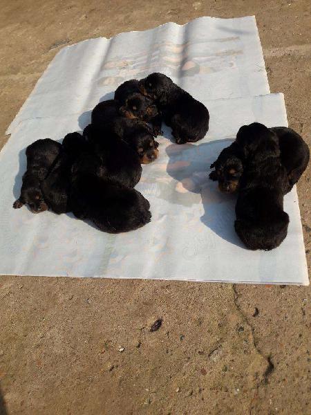 Cachorros rottweilers