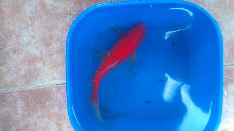 peces cometa y cometa butterfly grandes y chicos