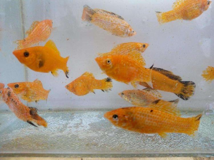 Peces mollys naranja reproductor adulto de 10cm