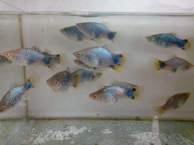 Peces platys adultos reproductores