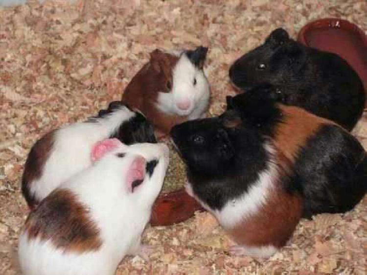 Vendo Cobayos. Conejos. Hamsters. Peces.