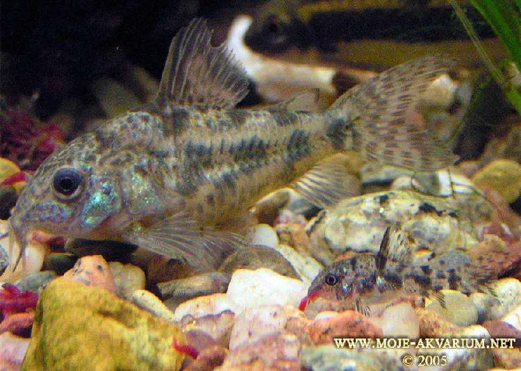 Vendo peces limpia fondos (corydoras paleatus)