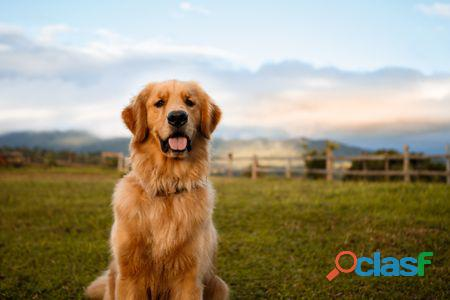 Adopto cachorrito golden retriever