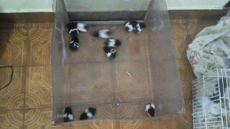 Hamsters panda