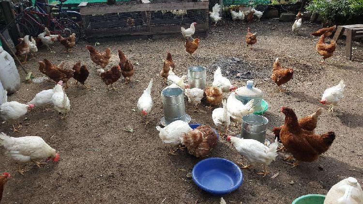 Vendo gallinas y pollitas ponedoras