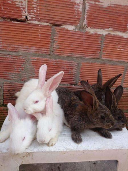 Conejos gigantes de flandes