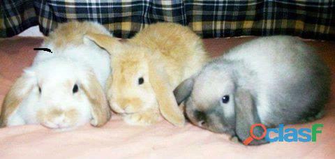 Conejos enanos de orejas caidas 2234231300 mar del plata ...