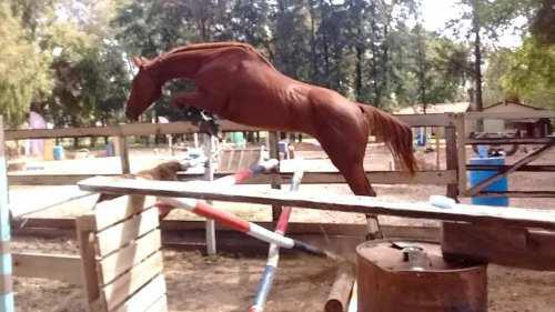 Caballos de salto