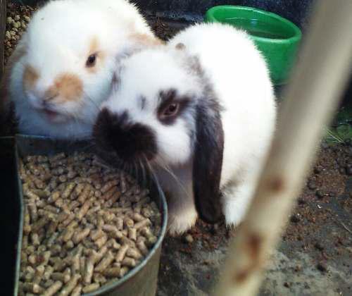 Conejin alimento para conejos, cobayos y chinchillas x 30kg