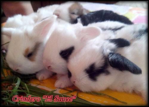Conejos enanos holland lop