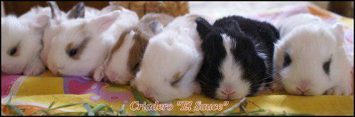 Conejos enanos holland lop-hembras-