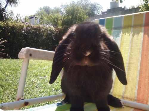 Mascota- conejos holland lop