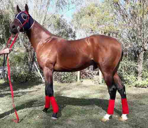 Spc caballo. especial padrillo. por sourthen halo