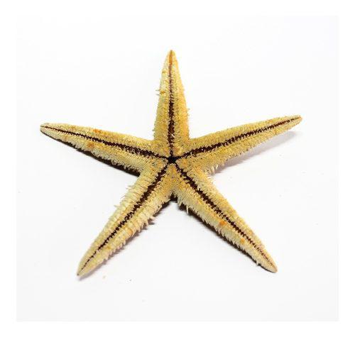 Estrella de mar x 5 unidades