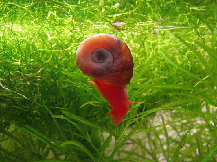 20 caracoles planorbis diablo rojo