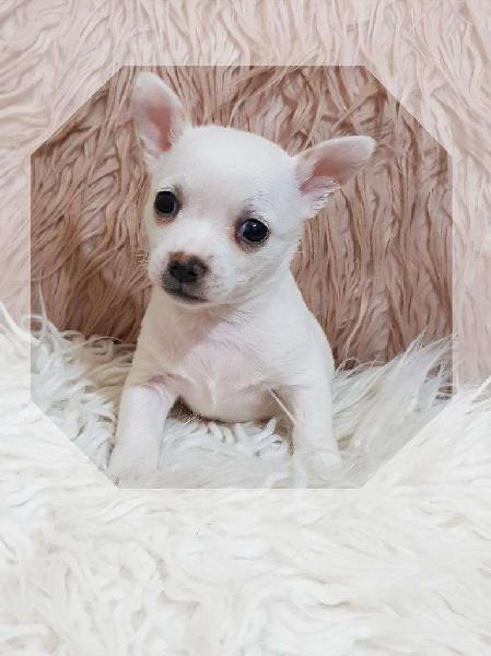 Chihuahuas tarjetas