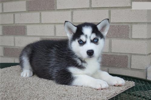 3 cachorros huskies en adopcion en magdalena