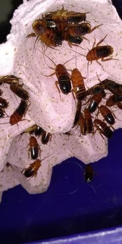 Cucarachas runner x 50 alimento vivo reptiles erizos envios