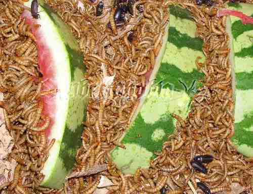 Tenebrios x 200 alimento vivo erizo geko aves peces humanos