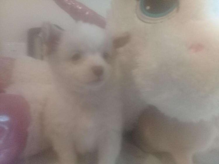 Chihuahuas hembras pelo largo y corto