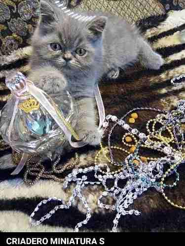 Gatito gato persa himalayo blanco ! ojos celestes gtia + kit