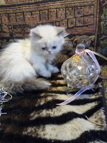 Gato gatitos persa himalayo y exotico + kit bienvenida