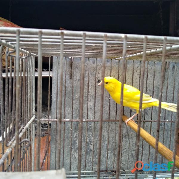 Canarios y aves de criadero