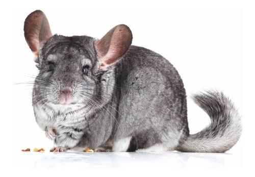Chinchillas para mascotas o reproduccion