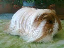 Cobayo peruano de pelo largo pura raza